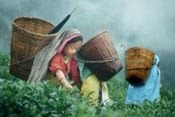 Meet Our Tea Producers